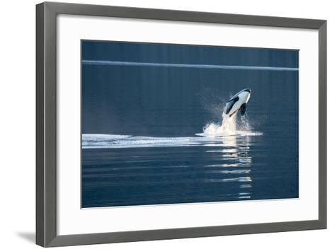 A Killer Whales, or Orca Leaping in Frederick Sound, Inside Passage, Alaska-Michael Melford-Framed Art Print
