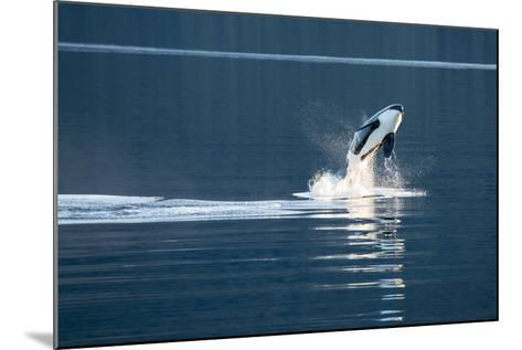 A Killer Whales, or Orca Leaping in Frederick Sound, Inside Passage, Alaska-Michael Melford-Mounted Photographic Print