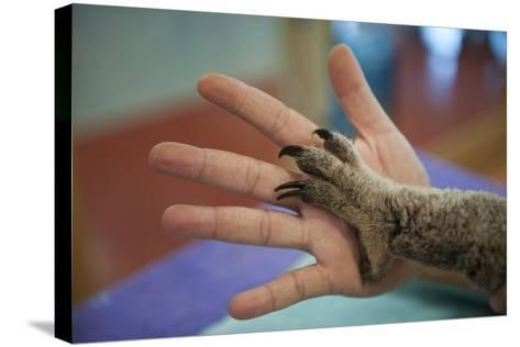 The Hands of a Veterinarian and a Federally Threatened Koala-Joel Sartore-Stretched Canvas Print