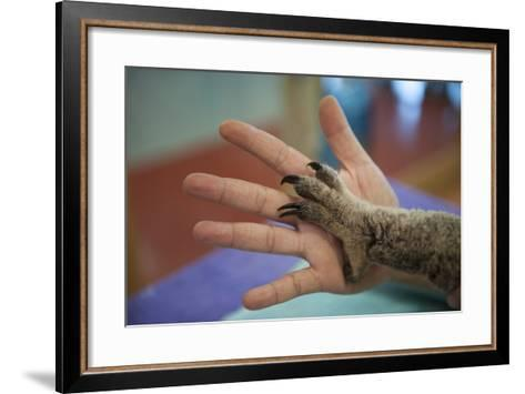 The Hands of a Veterinarian and a Federally Threatened Koala-Joel Sartore-Framed Art Print