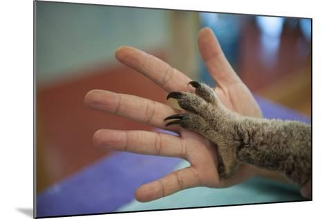 The Hands of a Veterinarian and a Federally Threatened Koala-Joel Sartore-Mounted Photographic Print