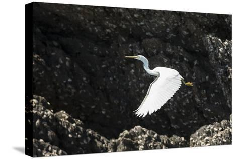 A White Western Reef Heron Taking Off from a Sandstone Escarpment Covered with Oysters-Jeff Mauritzen-Stretched Canvas Print