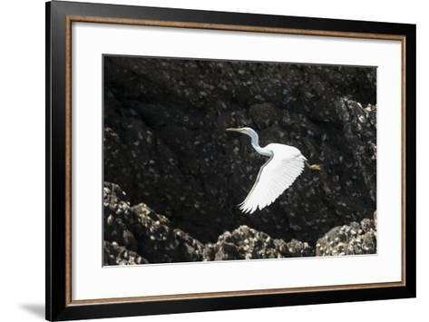 A White Western Reef Heron Taking Off from a Sandstone Escarpment Covered with Oysters-Jeff Mauritzen-Framed Art Print
