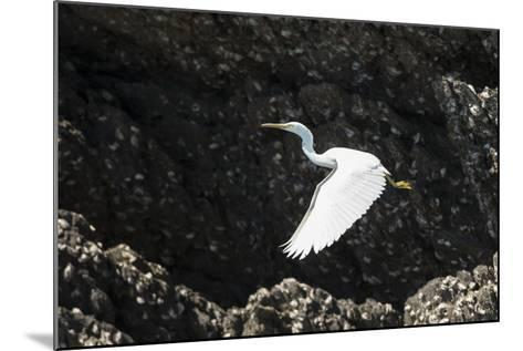 A White Western Reef Heron Taking Off from a Sandstone Escarpment Covered with Oysters-Jeff Mauritzen-Mounted Photographic Print