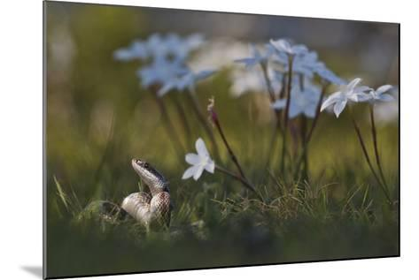 A Texas Rat Snake Raises its Head in the Grass Next to Some Evening Rain Lily Flowers-Karine Aigner-Mounted Photographic Print