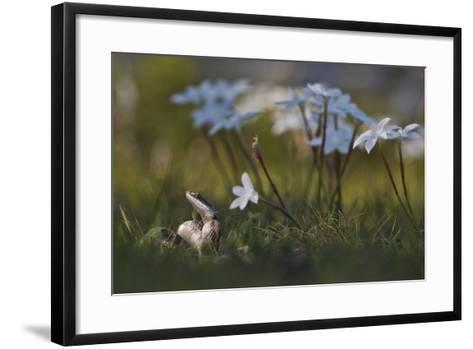 A Texas Rat Snake Raises its Head in the Grass Next to Some Evening Rain Lily Flowers-Karine Aigner-Framed Art Print