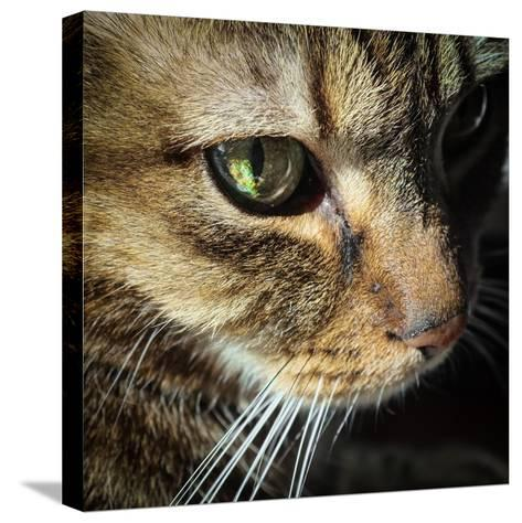 Close Up of the Eye and Face of a Pet Tabby Cat, in Sunlight Through a Window-Amy and Al White and Petteway-Stretched Canvas Print
