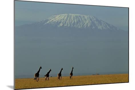Four Masai Giraffes on a Grass Plain at the Base of Mount Kilimanjaro-Beverly Joubert-Mounted Photographic Print