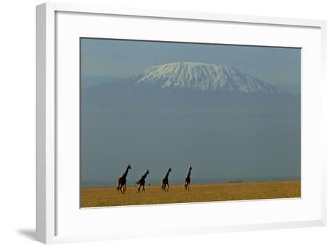 Four Masai Giraffes on a Grass Plain at the Base of Mount Kilimanjaro-Beverly Joubert-Framed Art Print