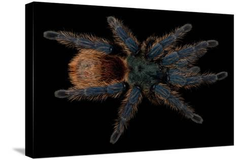 A Greenbottle Blue Tarantula at the Lincoln Children's Zoo-Joel Sartore-Stretched Canvas Print