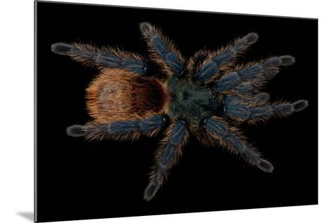 A Greenbottle Blue Tarantula at the Lincoln Children's Zoo-Joel Sartore-Mounted Photographic Print