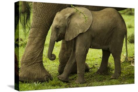 An African Elephant Calf Standing Underneath its Mother-Beverly Joubert-Stretched Canvas Print