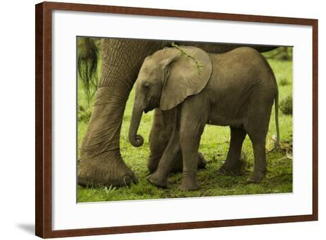 An African Elephant Calf Standing Underneath its Mother-Beverly Joubert-Framed Art Print