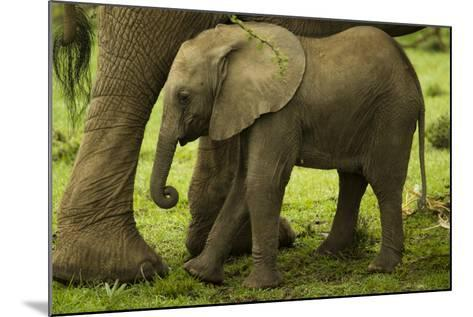 An African Elephant Calf Standing Underneath its Mother-Beverly Joubert-Mounted Photographic Print