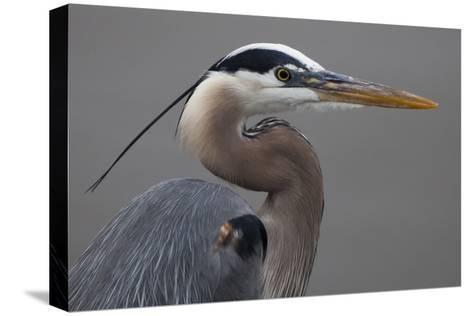 Close Up Portrait of a Great Blue Heron, Ardea Herodias-Kent Kobersteen-Stretched Canvas Print
