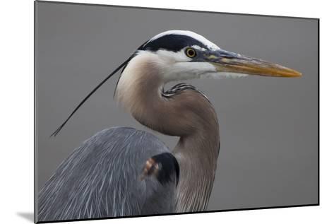 Close Up Portrait of a Great Blue Heron, Ardea Herodias-Kent Kobersteen-Mounted Photographic Print