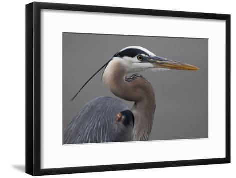 Close Up Portrait of a Great Blue Heron, Ardea Herodias-Kent Kobersteen-Framed Art Print