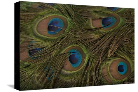 The Tail Feathers of an Indian Peafowl, Pavo Cristatus, at the Lincoln Children's Zoo-Joel Sartore-Stretched Canvas Print