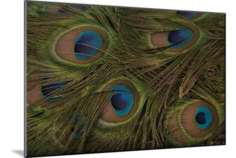 The Tail Feathers of an Indian Peafowl, Pavo Cristatus, at the Lincoln Children's Zoo-Joel Sartore-Mounted Photographic Print