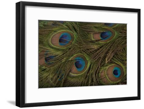 The Tail Feathers of an Indian Peafowl, Pavo Cristatus, at the Lincoln Children's Zoo-Joel Sartore-Framed Art Print