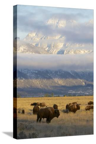 As the Clouds Clear Off the Grand Tetons, a Herd of Bison Graze in a Large Meadow-Barrett Hedges-Stretched Canvas Print