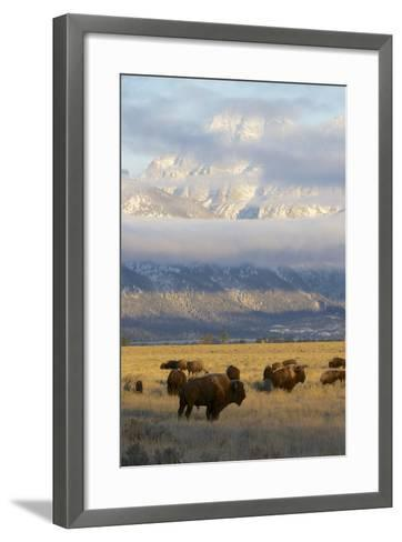 As the Clouds Clear Off the Grand Tetons, a Herd of Bison Graze in a Large Meadow-Barrett Hedges-Framed Art Print