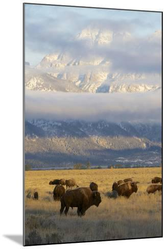 As the Clouds Clear Off the Grand Tetons, a Herd of Bison Graze in a Large Meadow-Barrett Hedges-Mounted Photographic Print