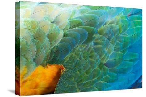 Close Up of the Wing and Feathers of a Beautiful Wild Harlequin Macaw-Alex Saberi-Stretched Canvas Print