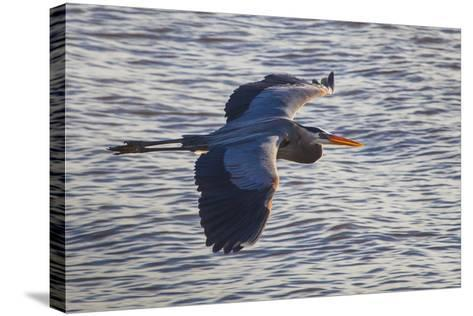 Portrait of a Great Blue Heron, Ardea Herodias, in Flight over the Occoquan River-Kent Kobersteen-Stretched Canvas Print