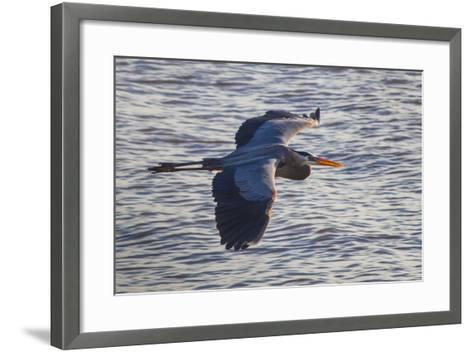 Portrait of a Great Blue Heron, Ardea Herodias, in Flight over the Occoquan River-Kent Kobersteen-Framed Art Print
