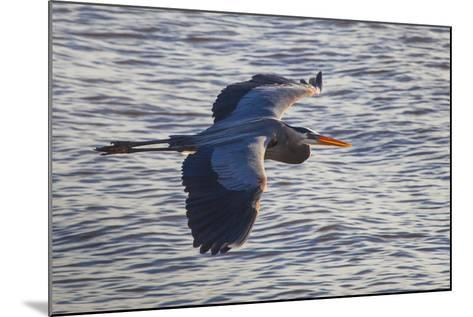 Portrait of a Great Blue Heron, Ardea Herodias, in Flight over the Occoquan River-Kent Kobersteen-Mounted Photographic Print