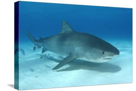 A Remora and Other Small Fish Swimming with a Tiger Shark, Galeocerdo Cuvier-Jeff Wildermuth-Stretched Canvas Print