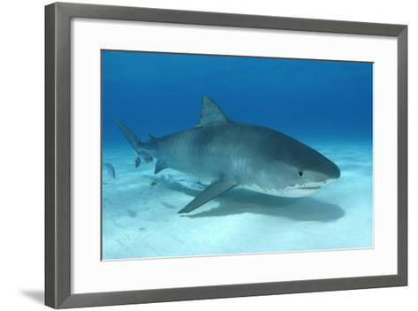 A Remora and Other Small Fish Swimming with a Tiger Shark, Galeocerdo Cuvier-Jeff Wildermuth-Framed Art Print