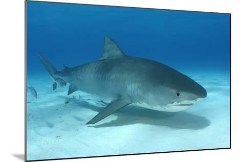 A Remora and Other Small Fish Swimming with a Tiger Shark, Galeocerdo Cuvier-Jeff Wildermuth-Mounted Photographic Print