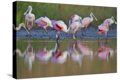 Roseate Spoonbills Foraging and Eating in the Waters of Lake Corpus Christi-Karine Aigner-Stretched Canvas Print