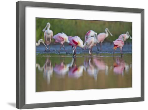 Roseate Spoonbills Foraging and Eating in the Waters of Lake Corpus Christi-Karine Aigner-Framed Art Print