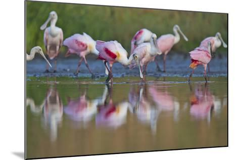 Roseate Spoonbills Foraging and Eating in the Waters of Lake Corpus Christi-Karine Aigner-Mounted Photographic Print