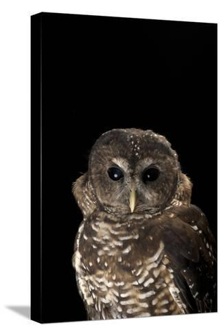 A Rare Northern Spotted Owl, Strix Occidentalis Caurina-Joel Sartore-Stretched Canvas Print