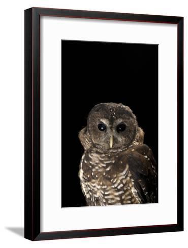 A Rare Northern Spotted Owl, Strix Occidentalis Caurina-Joel Sartore-Framed Art Print