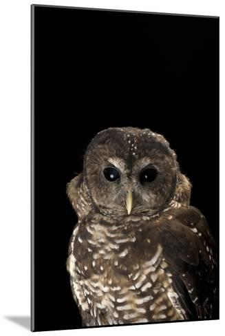 A Rare Northern Spotted Owl, Strix Occidentalis Caurina-Joel Sartore-Mounted Photographic Print