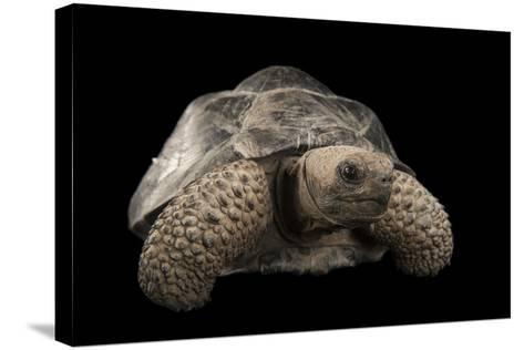 A Galapagos Tortoise, Geochelone Nigra, at the Lincoln Children's Zoo-Joel Sartore-Stretched Canvas Print