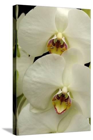 Close Up of Large, White Phalaenopsis Orchids, Phalaenopsis Species-Darlyne A^ Murawski-Stretched Canvas Print