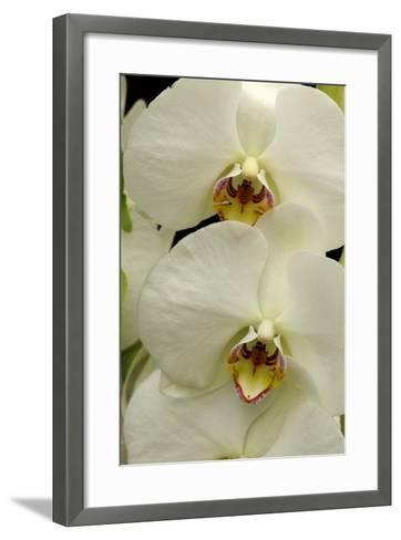 Close Up of Large, White Phalaenopsis Orchids, Phalaenopsis Species-Darlyne A^ Murawski-Framed Art Print