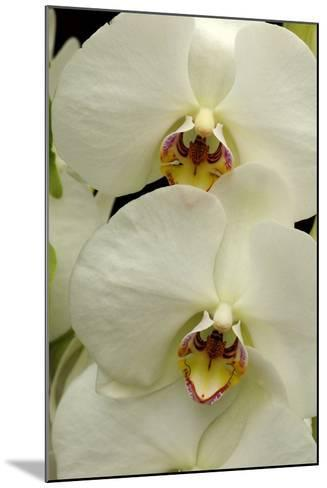 Close Up of Large, White Phalaenopsis Orchids, Phalaenopsis Species-Darlyne A^ Murawski-Mounted Photographic Print