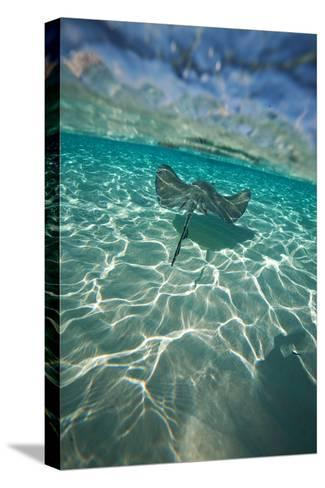 A Stingray Swims over a Series of Shallow Sandbars Off the Cayman Islands-Chris Bickford-Stretched Canvas Print