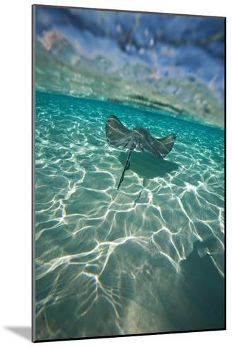 A Stingray Swims over a Series of Shallow Sandbars Off the Cayman Islands-Chris Bickford-Mounted Photographic Print