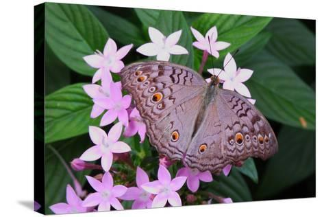 A Lemon Pansy Butterfly Taking Nectar from a Flower. Range, China, Malaya-George Grall-Stretched Canvas Print