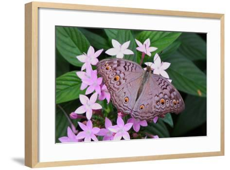 A Lemon Pansy Butterfly Taking Nectar from a Flower. Range, China, Malaya-George Grall-Framed Art Print