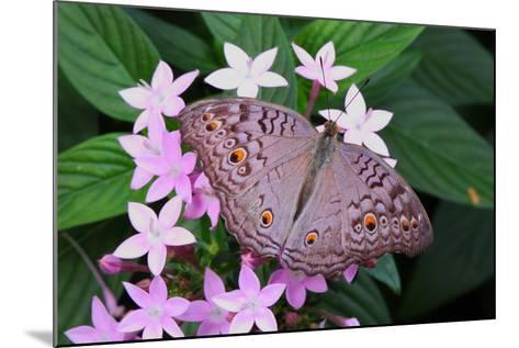 A Lemon Pansy Butterfly Taking Nectar from a Flower. Range, China, Malaya-George Grall-Mounted Photographic Print