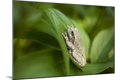 Cope's Gray Tree Frog Hiding in a Peony Bush Near Cross Lake, Minnesota-Joel Sartore-Mounted Photographic Print